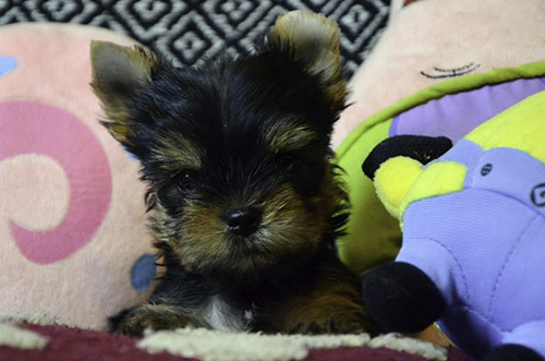 Lilly Yorkie puppy for sale