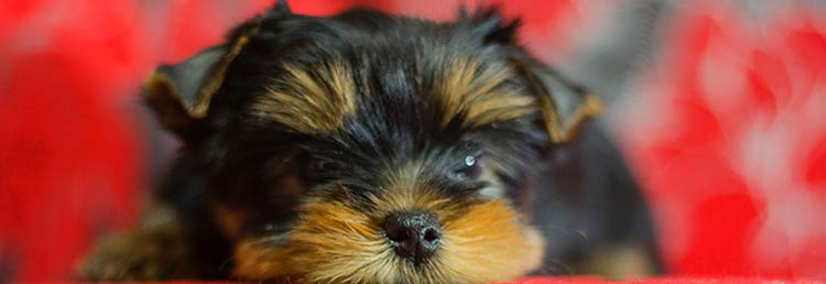 Puppies for sale, Yorkies, Yorkshire Terriers